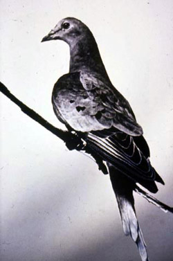 The last passenger pigeon