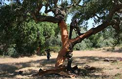 Workers strip a cork tree