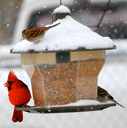 If you're eating from a feeder, possibly.