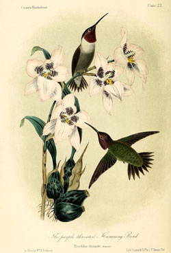 The purple-throated hummingbird