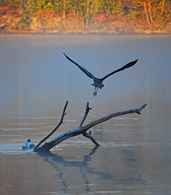 Under the flap of a heron's wings